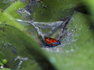 Blue Jeans Frosch in Costa Rica