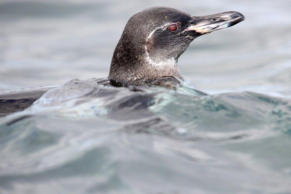 Galapagos-Pinguin im Wasser