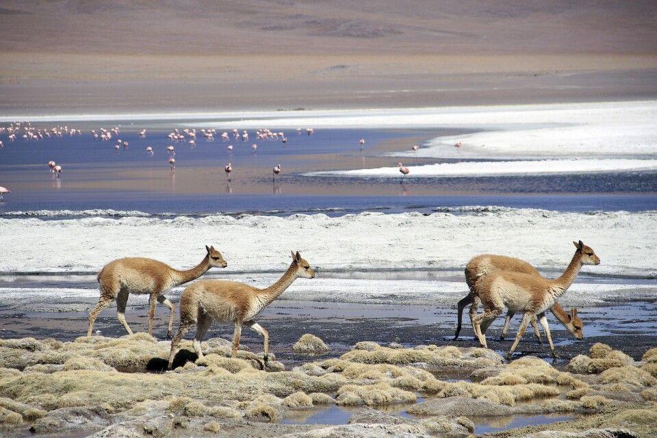 Vicuñas und Flamingos