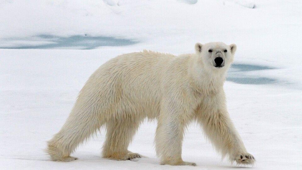 Eisbären sind sehr neugierige Tiere