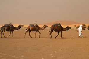 Beduine mit seinen Kamelen