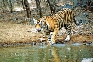 Bengal-Tiger im Ranthambore-Nationalpark