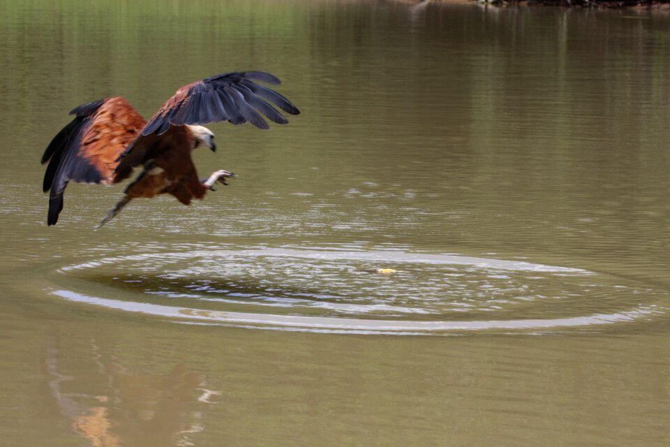 Greifvogel beim Fischen