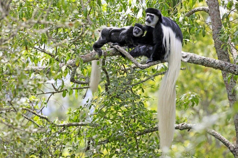 Colobusaffen im Arusha Nationalpark