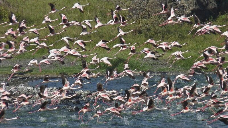 Aufsteigender Flamingoschwarm  © Diamir