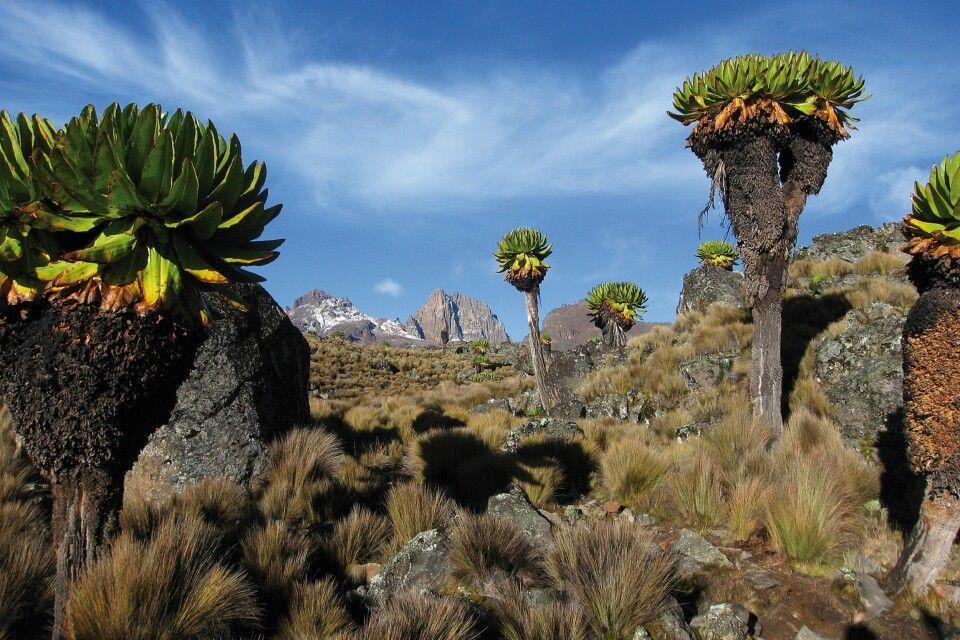Senezien auf dem Weg zum Gipfel des Mount Kenya