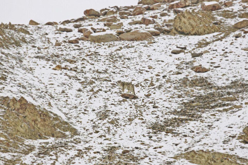 Schneeleopardenprisch in Ladakh