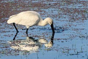 Vogelbeobachtung im Sundarbans NP