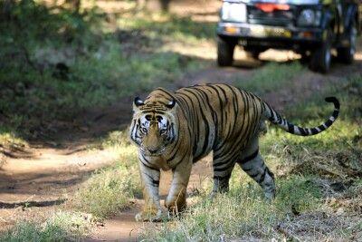 Tiger im Khana NP