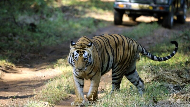 Tiger im Khana NP © Diamir