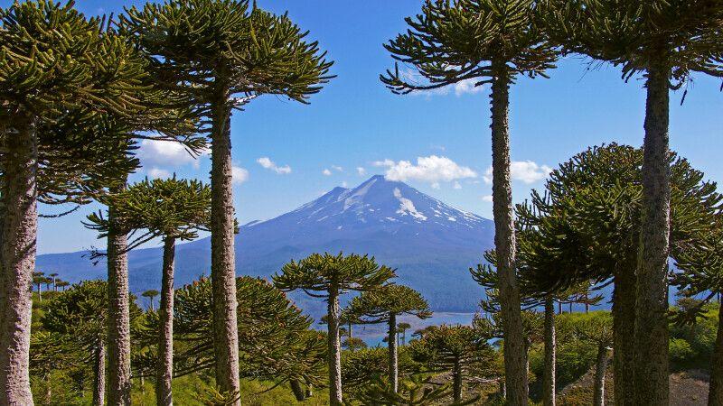 Araukarienwald vor dem Vulkan Llaima © Diamir