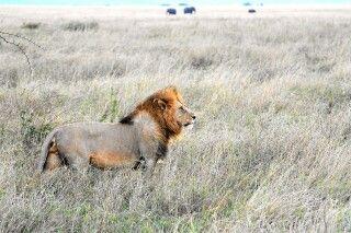 Löwe in Savanne