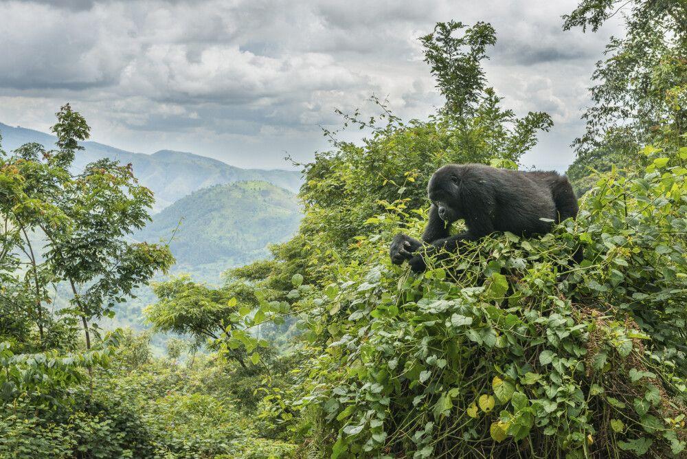 Gorilla im Gebüsch