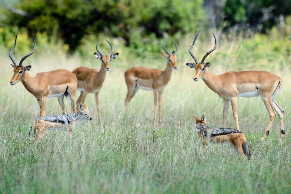 Impalaböcke und Schabrackenschakale, Chobe NP