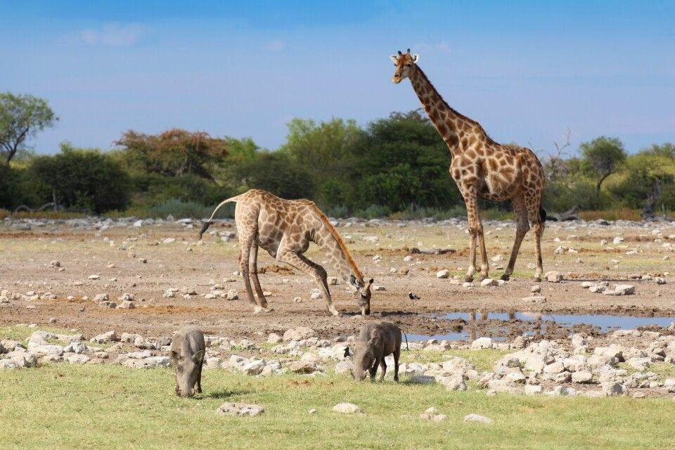 Tiere am Wasserloch Etosha Nationalpark
