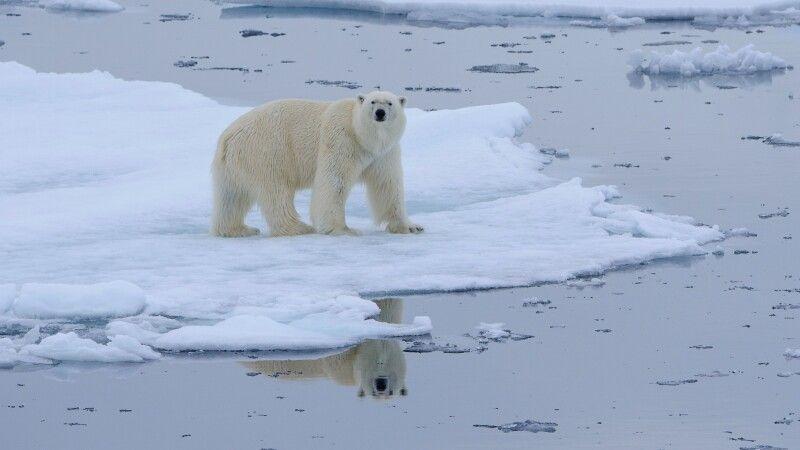 Doppelt hält besser: ein Eisbärmännchen und seine Spiegelung © Diamir