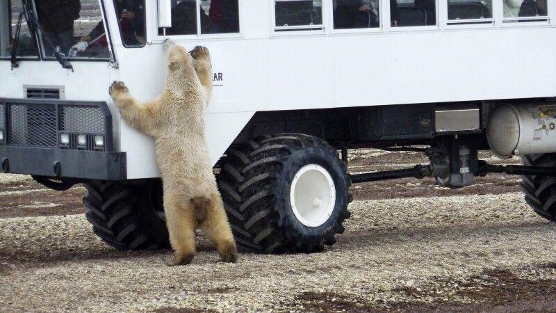 Spezielles Allradfahrzeug zur Bärenbeobachtung © Diamir