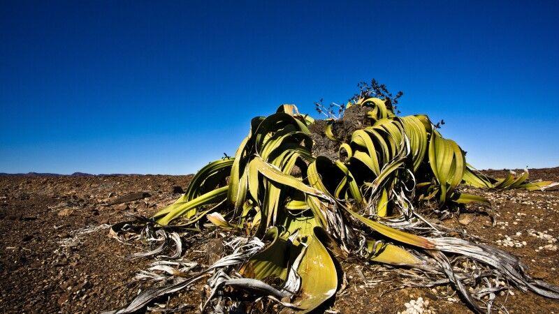Welwitschia mirabilis © Diamir