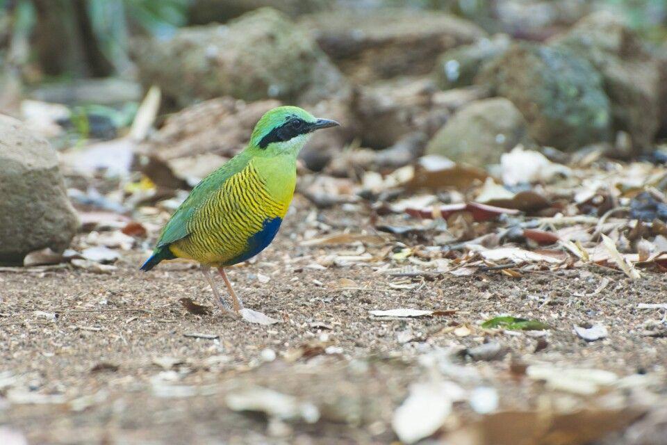 Grünscheitelpitta (Hydrornis ellioti) im Nam-Cat-Tien-Nationalpark