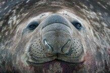 Eindrucksvolles Portrait eines See-Elefanten