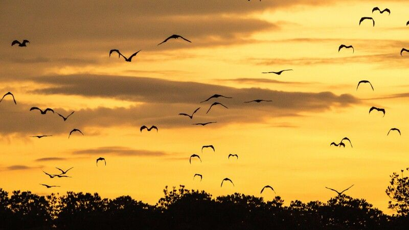 Ausschwärmende Flughunde im Komodo NP © Diamir