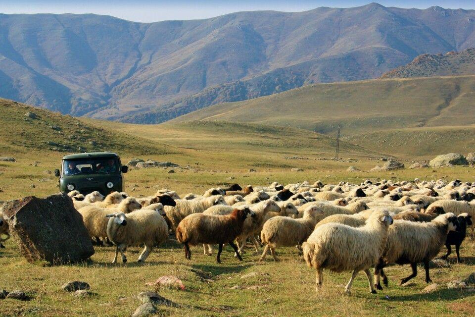 Schafherde im Armenischen Hochland