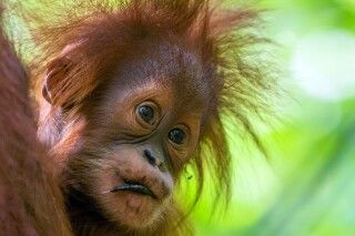 junger Orang-Utan auf Sumatra