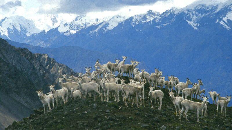 Dall-Schafe im Kluane NP © Diamir