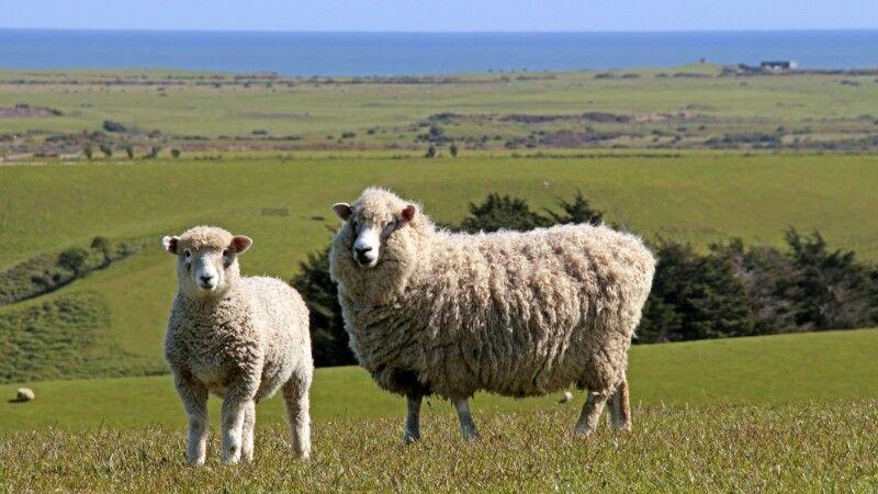 In Neuseeland gibt es weit mehr Schafe als Einwohner. © Diamir
