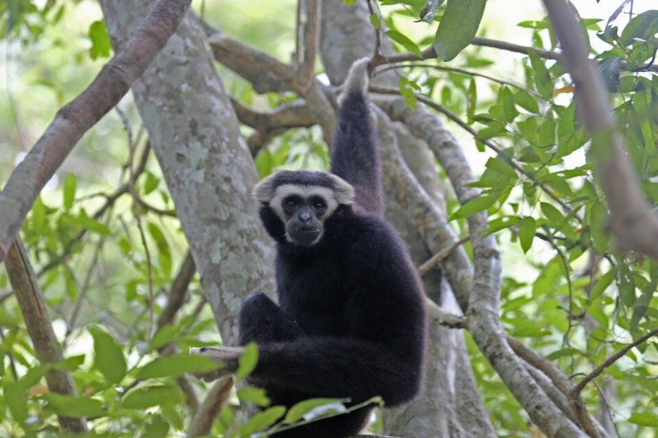 Gibbon in Angkor