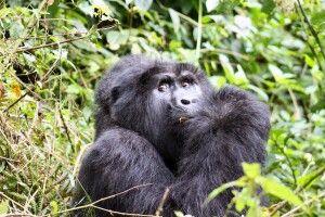 Fressender Gorilla