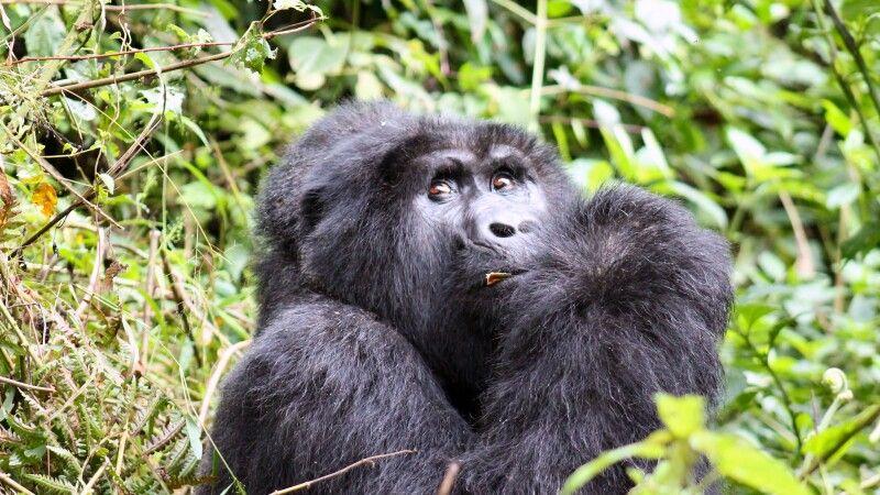 Fressender Gorilla © Diamir