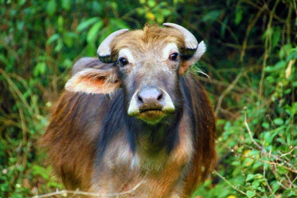 Wasserbüffel in der Annapurna-Region