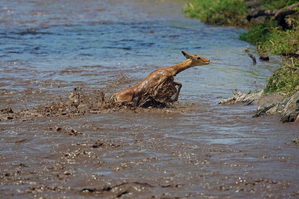 Seltenes Glück, ein Impalla hat die Flussdurchquerung fast erfolgreich hinter sich gebracht. Hier ist Schnelligkeit am Auslöser gefragt. In weniger als 10 Sekunden ist das Tier wieder aus dem Blickwinkel verschwunden…