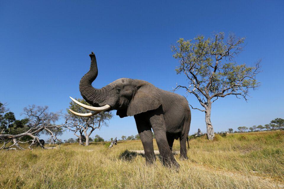 Der Elefant, ein majestätisches Tier