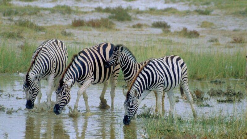 Zebraherde im Etosha-Nationalpark © Diamir