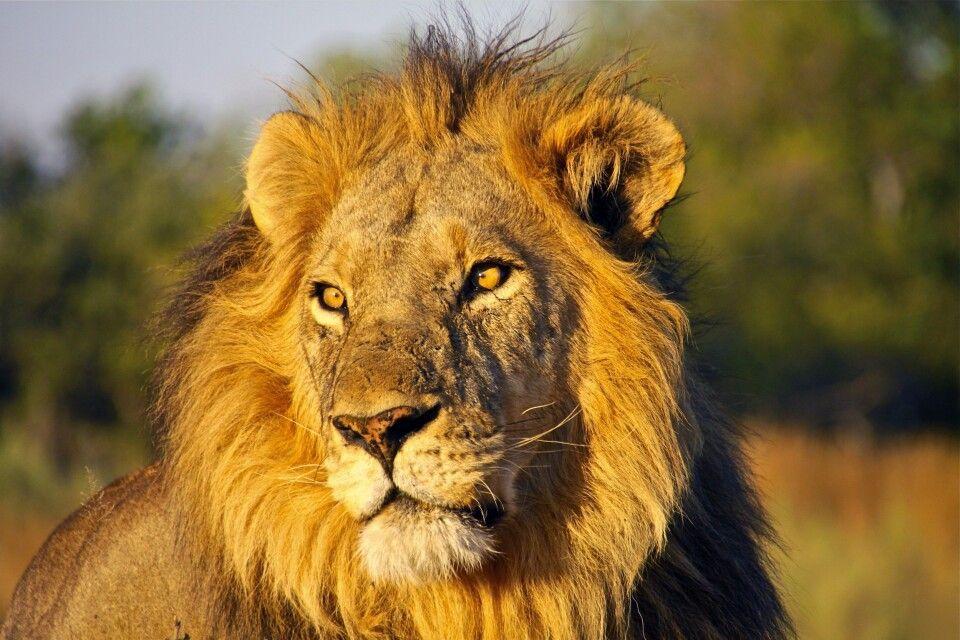 Stolzes Löwenmännchen