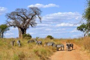 Zebras neben einem Baobab-Baum