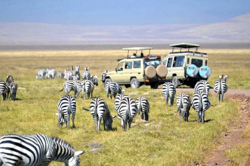 Die Zebras im Ngorongoro-Schutzgebiet haben keine Scheu vor den Safarifahrzeugen