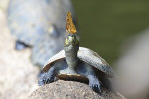 Schildkrötenschmetterling