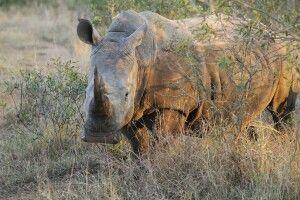 Breitmaulnashorn, Mkhaya Game Reserve, Swaziland