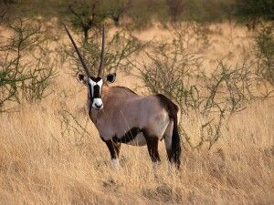 Namibia, Etosha Park, Oryxantilopen