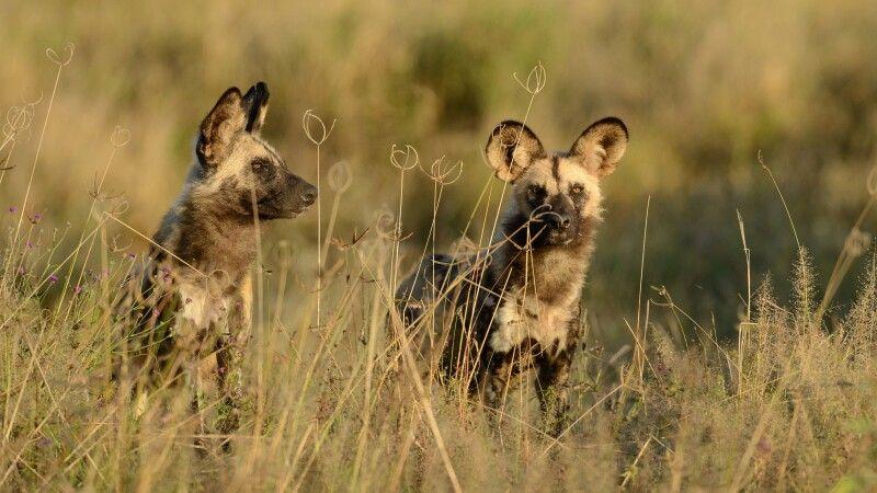 Wildhunde im Busch © Diamir