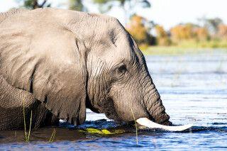 badender Elefant im Okavango-Delta