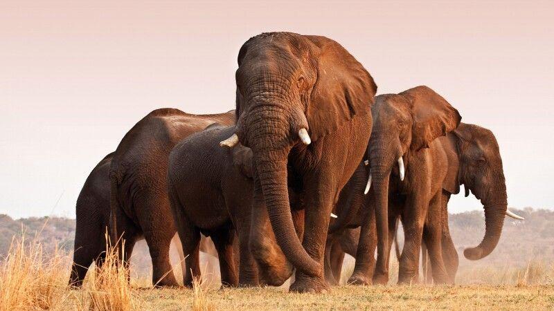Imposante Elefantenherde © Diamir