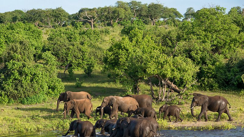 badende Elefanten im Chobe-Nationalpark © Diamir