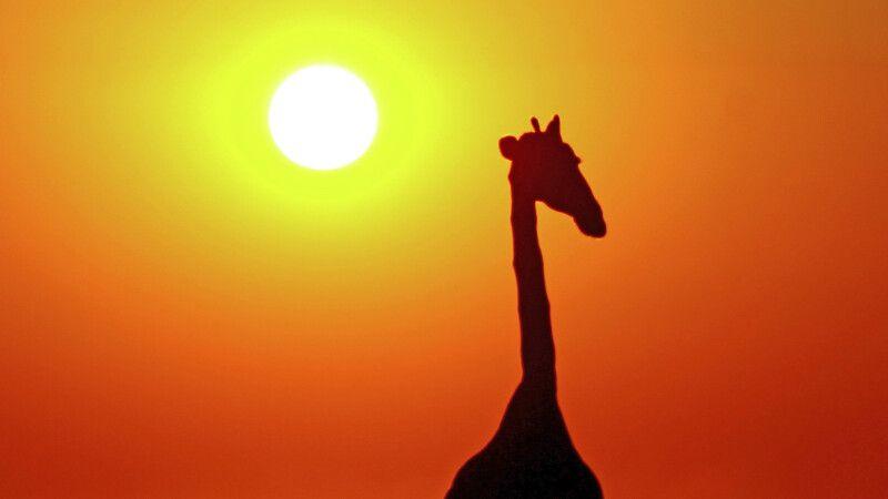 Giraffe © Diamir