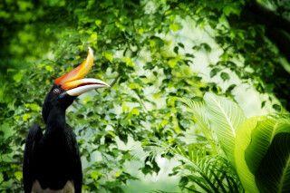 Malaysia - Borneo - Nashornvogel