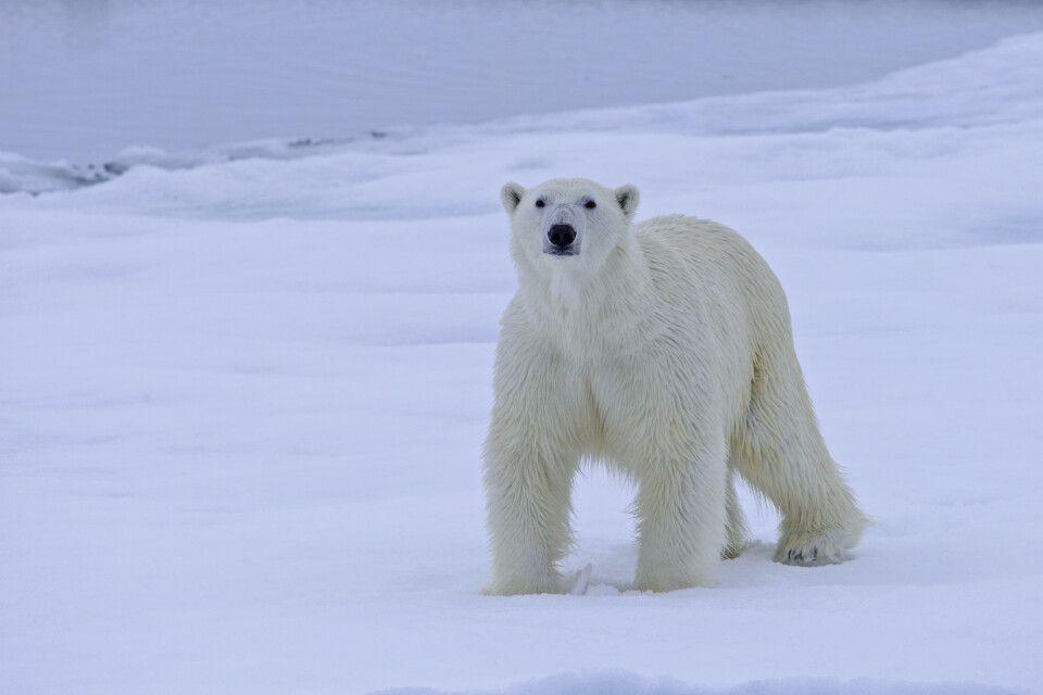 Geduld zahlt sich aus – der junge Eisbär inspiziert das Schiff