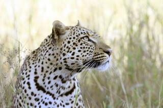 Anmutig und stolz – Leoparden gehören zu den schönsten Großkatzen